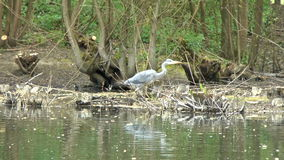 Grey Heron Searching stock video footage