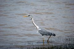 Grey heron, Selous National Park, Tanzania. A grey heron is looking for fish in the water Royalty Free Stock Photos