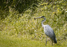 2 Grey Heron set Catching and eating mouse or vole  (Ardea cinerea) Stock Photography