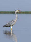 Grey Heron at shallow water of morning lake. Grey Heron (Ardea cinerea) at Manych lake in Kalmykia, Russia Royalty Free Stock Photography