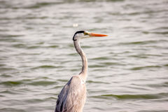 Grey Heron on the side of a lake. Beautiful portrait of a Grey Heron on the side of a lake Royalty Free Stock Photo