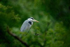 Grey heron sitting in the green branch Stock Images