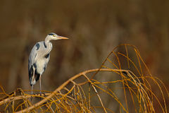 Grey heron sitting in the green branch of willow tree, Czech republic Stock Image