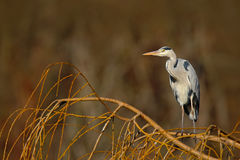 Grey heron sitting in the green branch of willow tree, Czech republic Royalty Free Stock Image
