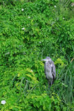 Grey heron sitting in greenery looking far Stock Image