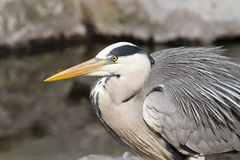 Grey heron sitting. Sitting grey heron with rocks in the background Stock Photos