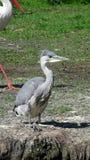 Grey Heron sitting on waterside Stock Images