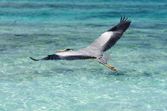 Grey Heron som flyger över havet Arkivbilder