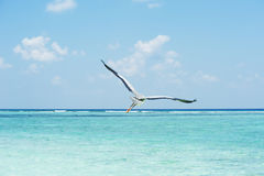 Grey Heron som flyger över havet Royaltyfri Foto