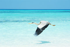Grey Heron som flyger över havet Arkivbild