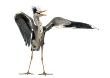 Grey Heron som gör en para ihopdans, Cinerea Ardea Arkivbilder