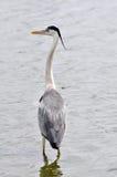 Grey Heron in South Africa (Ardea Cinerea) Royalty Free Stock Image