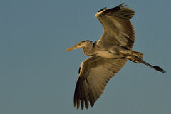 Grey heron with spread wings Stock Photo