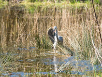 Grey Heron spreading his wings Royalty Free Stock Photography