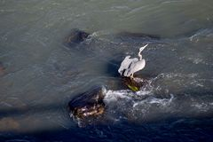 Heron Takeoff from river rocks. Grey Heron spreads wings on takeoff from watery rocks in river Stock Photography