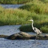Grey heron in Sri Lanka Stock Image