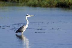 Grey heron in Sri Lanka Stock Photo