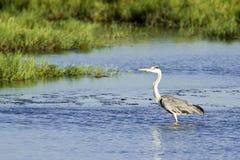 Grey heron in Sri Lanka Royalty Free Stock Photography