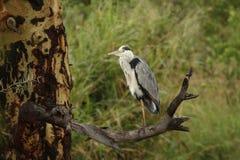 Grey Heron ställningar på ett ben på död filial i Serengeti Royaltyfri Bild