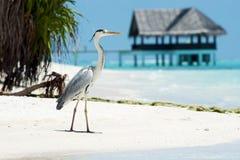 Grey Heron står på stranden nära havet Royaltyfri Bild