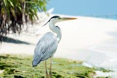 Grey Heron står på stranden nära havet Royaltyfri Foto