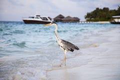 Grey Heron står på stranden nära havet med huset och bet Royaltyfri Fotografi