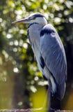 Grey Heron sta guardante il fiume al porto di Chichester in West Sussex, Inghilterra fotografia stock libera da diritti