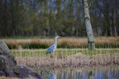 Grey Heron stalking fish next to pond. Gre heron area cinerea standing in rushes next to pond looking for fish Stock Photo
