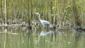 Grey Heron Stalking stock video