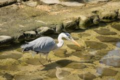Grey Heron Stalking Prey. Royalty Free Stock Images