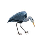 Grey Heron standing bent down, Ardea Cinerea Stock Photography