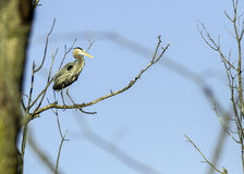 Grey Heron. Standing on a branch Royalty Free Stock Photo