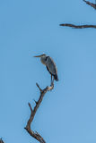 Grey heron standing on dead tree branch Stock Photos