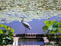 A grey heron standing on the edge of a pond. A grey standing on some terracotta tiles on the edge of a pond, fishing. THe pond is filled with water-lillies and Stock Photo