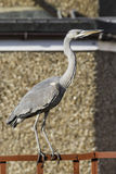 Grey heron. Standing on fence Stock Photos