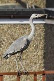 Grey heron. Standing on fence stock photos
