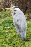 Grey heron standing in the green grass Stock Photo