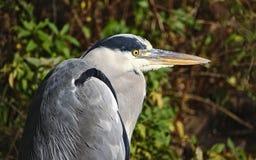 Grey heron on the lake shore Royalty Free Stock Image