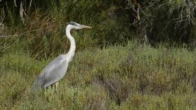 Grey heron stock video
