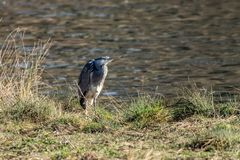 Grey heron standing by the river bank in low level winter sunlight. Early signs of spring as a grey heron standing by the river bank in low level winter sunlight stock photos