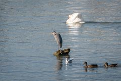 A grey heron standing on a rock in the water stock image