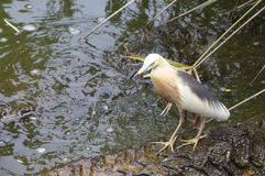 Grey Heron standing on the root in the tree in the water stock image