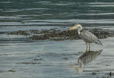 Heron in the sea royalty free stock photo
