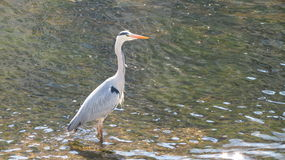 Grey Heron. Standing in a shallow river Royalty Free Stock Photos