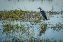 Grey heron standing in shallows with plants Stock Image