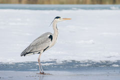 Grey Heron standing in the snow, a cold winter day Royalty Free Stock Images