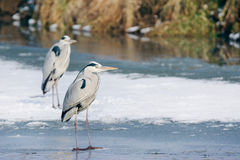 Grey Heron standing in the snow, a cold winter day Stock Image