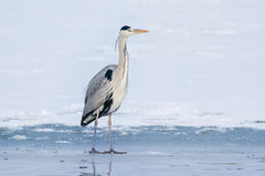Grey Heron standing in the snow, a cold winter day Royalty Free Stock Image