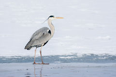 Grey Heron standing in the snow, a cold winter day Royalty Free Stock Photo
