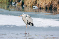 Grey Heron standing in the snow, a cold winter day Royalty Free Stock Photos